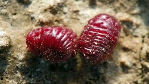 口红是用这种虫子的尸体制作的?看完令人作呕,女生还敢涂吗