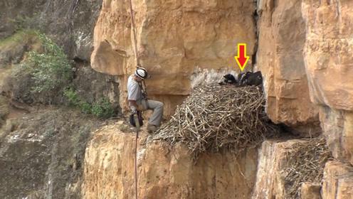 人类是如何研究金雕的?只能等妈妈外出,才敢爬上悬崖靠近巢穴