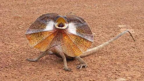 自带雨伞蜥蜴,小伙在森林里发现很是不解这是什么稀奇的动物?