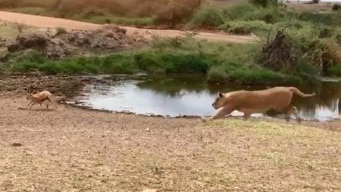 羚羊在河边喝水,一只狮子突然冲出,结果没刹住车