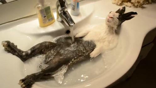 """为什么说兔子不能""""洗澡"""",一洗就会死翘翘?看完让人爆笑不止!"""