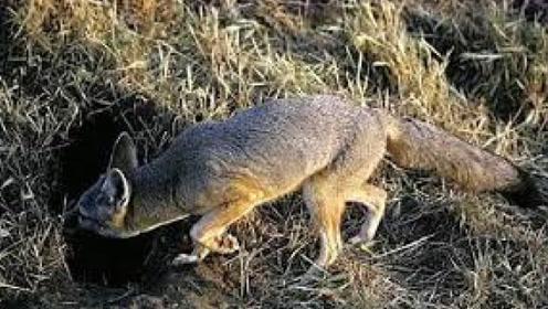 狐狸为何总喜欢在坟墓中做洞穴, 难道真的成精了?网友:太真实