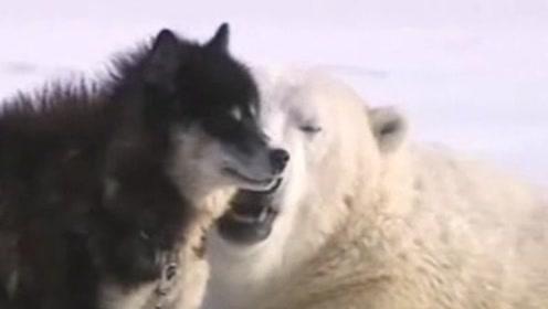 意想不到!北极熊和狗在雪地上玩耍,相互拥抱!