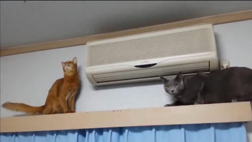 索马里猫小花在屋顶咬苍蝇,俄罗斯蓝猫铃铛捣乱,害小花摔了一跤