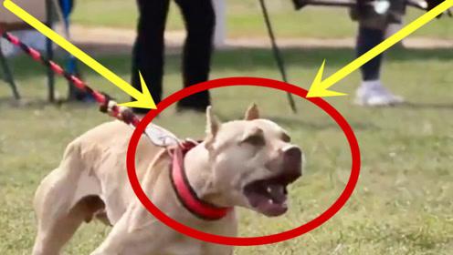千万别养这种狗,3分钟咬死200斤的高加索,太可怕!