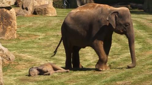 小象故意倒地装死,象妈妈火速找饲养员,网友:皮一下很开心?