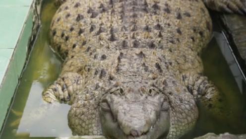 男子把鳄鱼当猪养,每天喂10斤肉,网友:简直跟猪没区别