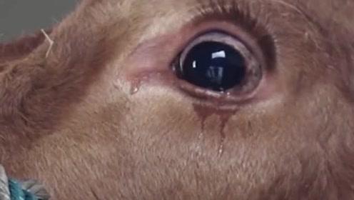 为什么农村杀牛时,要蒙住牛眼不让它看见?太真实了