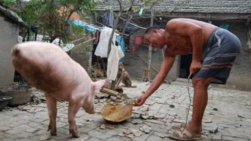 农村大叔养的这头猪火了,出价30万也不卖,得知原因让人佩服!