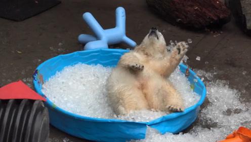 离开北极已久的小北极熊,给了它一盆冰块后,立马欢快地打起滚来
