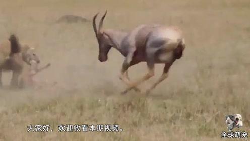 羚羊夫妇疯狂攻击鬣狗,只为营救它口中的幼崽,镜头拍下全过程