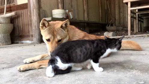 两个月大的小奶猫,出生后第一次见到大黄狗会有什么反应?
