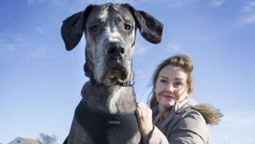 最大的宠物狗,主人为其换了20多套沙发,每年都要花费8万块!