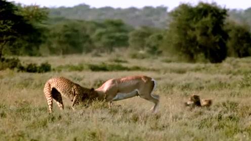 实拍花豹秒扑羚羊,只用几秒钟