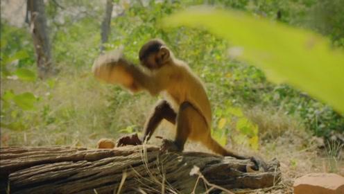 坚硬的棕榈果核,聪明的僧帽猴居然想出这样的办法打开