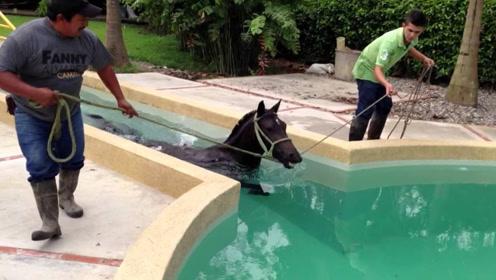 见过马游泳的样子吗?动作让人捧腹,镜头记下全过程!