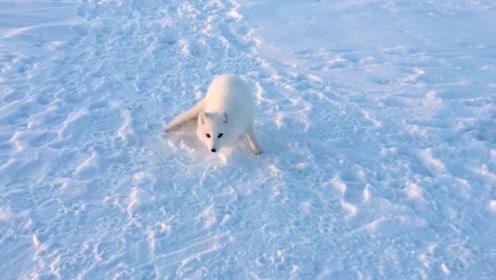 白狐狸欲偷盗鱼儿,被主人发现后竟开始卖萌,模样实在是太可爱了