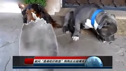 """被问""""是谁咬烂鞋垫""""狗狗反应超爆笑."""