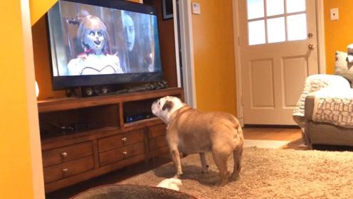 狗狗爱上看电视,还会跟随剧情变化情绪,网友:怕不是成精了!
