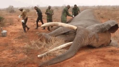 非洲人吃大象肉上瘾,绝不仅仅是因为好吃!真相才最让人心酸!