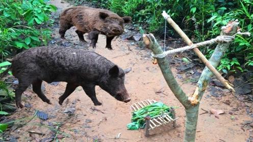 熊孩子用树枝做陷阱,再盖上几片烂菜叶,美味烤猪轻松上线!
