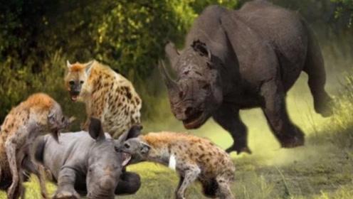 浑身铠甲的野生犀牛,被一群不知死活的鬣狗掏肛:完全啃不动!