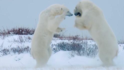 """除了黑熊和白熊,加拿大还有会变色的""""鬼熊"""",自然界真是奇妙!"""
