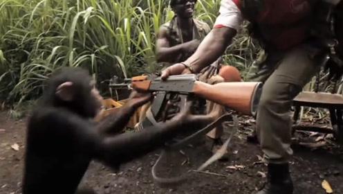 """老外作死将""""枪""""给黑猩猩玩,下一秒直接失控,网友:猩球崛起!"""