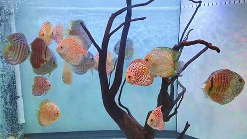 邻居在客厅精养了一缸宝贝七彩鱼,凑近一看,令人瞬间着迷了