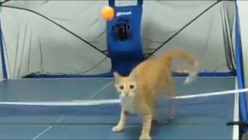 猫咪和主人打乒乓球,猫:不是我吹,我躺着跟你打你都打不过我!
