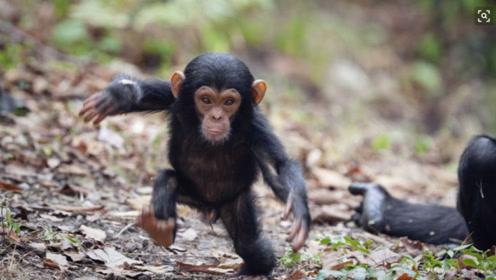 非洲成年猩猩被做成肉干,宝宝被当宠物交易,在欧美英居然畅销