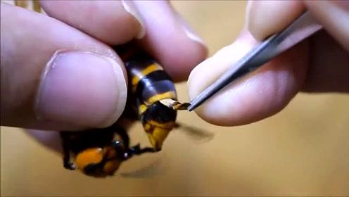 家里养的大黄蜂情绪不对,主人一看就懂了,拿镊子直接处理