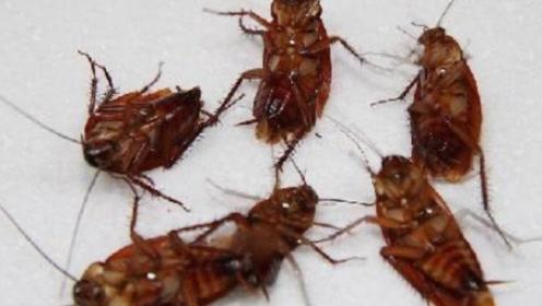 家里最怕有蟑螂!老一辈教的土方法,比蟑螂药还厉害,灭光光