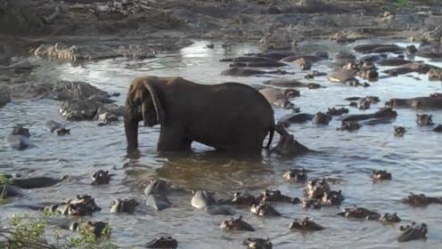 大象进入河马的领地,河马们忍气吞声,有一只就不服,想要试试