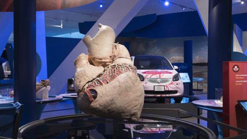 地球最大的心脏,重达500多斤,到底是什么动物的?