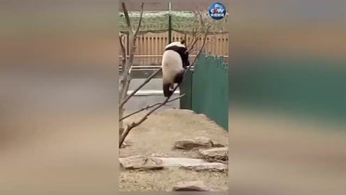 滚滚有多禁摔 熊生不就是起起落落?