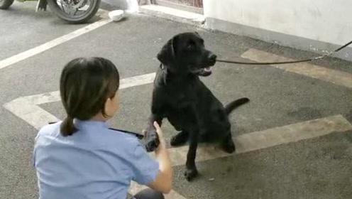 """拉布拉多""""报名""""当警犬,赖在派出所一周多不走:主人快来领走"""