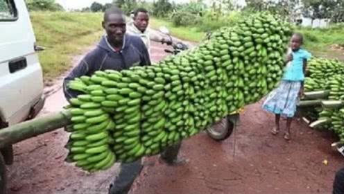 """原来我们所吃的香蕉是""""假的""""!真正的香蕉,快要""""灭绝""""了?"""