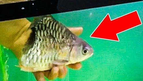世界上最坚强的鱼,只剩一个头过的还很自在,人称鱼坚强!