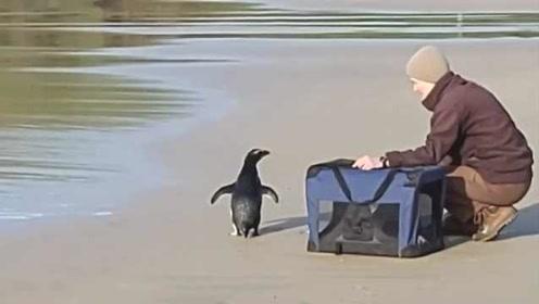 从新西兰到澳大利亚,濒危小企鹅游2500公里觅食