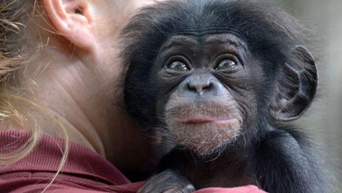 猩猩和婴儿一起长大,认为自己是人类,结局令人心酸