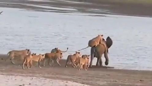 十几只狮子围攻大象,惹得大象发怒后,反追着狮子跑