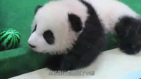 """我国首只被""""退货""""的大熊猫,外国人含泪将它送回,原因是养不起"""
