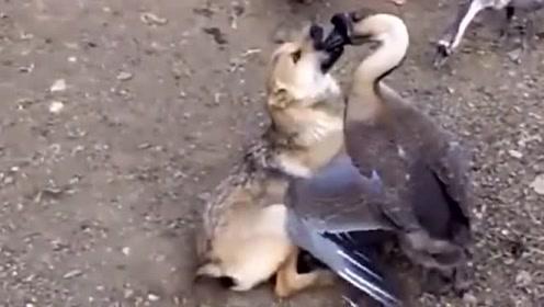 鹅狗大战你看过吗?