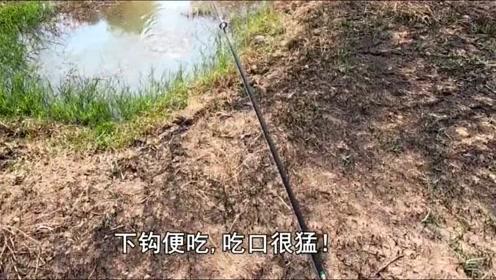 钓鱼:死水坑里的鱼无处逃走,饿的快不行了