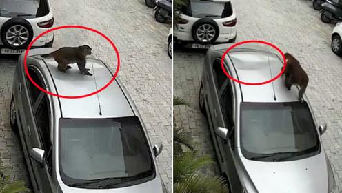 惹不起的猴哥!肥猴子从阳台跳下瞬间踩塌汽车顶部