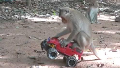 猴子无师自通开汽车,这个技术堪比老司机,网友:不愧是同一物种