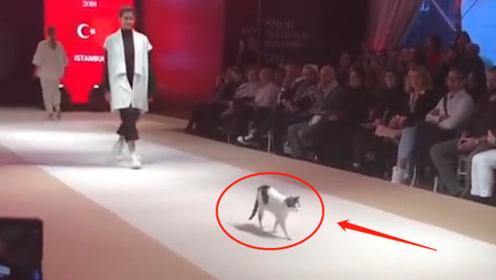 猫咪走上时装秀,成为全场焦点,瞬间抢掉模特风头