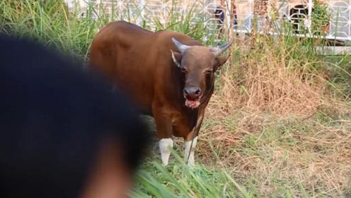 杀牛发生意外,600斤的老牛拼命挣脱逃跑,这一幕太可怜了