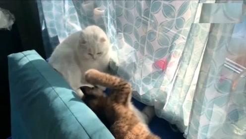 猫咪被猞猁挑衅,暗自压下心中的怒火,毕竟打也打不过